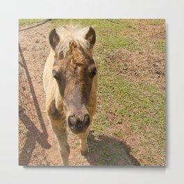 Curious miniature horse foal Metal Print
