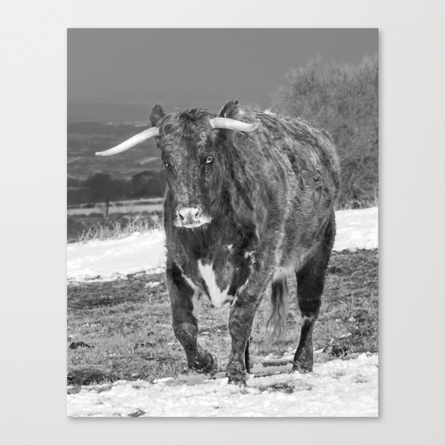 English longhorn black and white canvas print