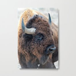 In The Presence Of Bison Metal Print