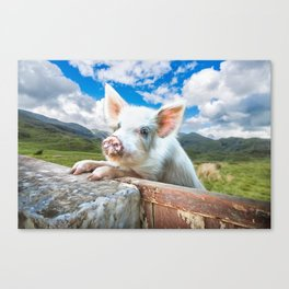 Cute White Pig Looking Over Wall Canvas Print