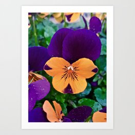 Pansy; Clear and Calm Art Print