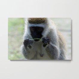 Vervet Monkey Metal Print