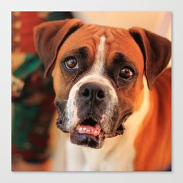 boxer's face weeping of friendly behavior Canvas Print