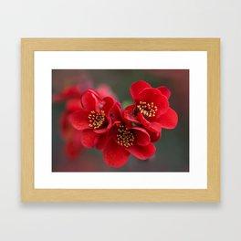 Red Chaenomeles flowers Framed Art Print