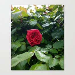 Red is the Rose Canvas Print