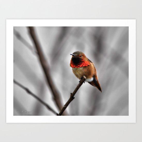 Allen's Hummingbird. © J. Montague. Art Print