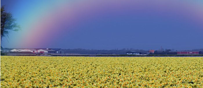 Rainbow at Narcissus field Coffee Mug