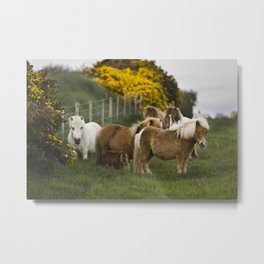 Shetland Ponies Metal Print