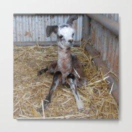 Donkey, my abandoned baby Llama ( cria) Metal Print
