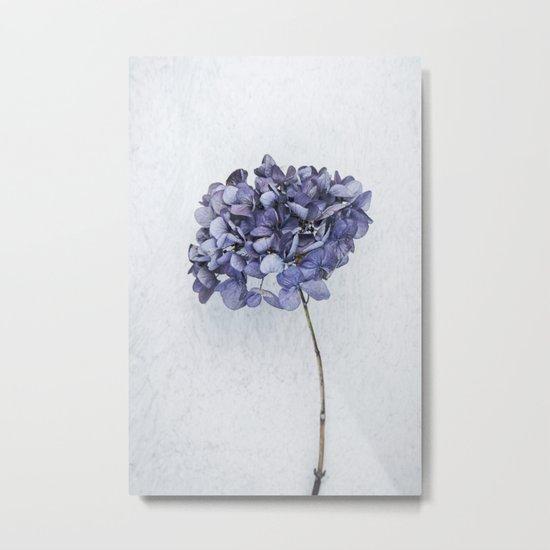 Dried Blue Hydrangea Metal Print
