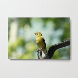 Female American Goldfinch Metal Print