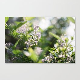 Flowers in Scotland Canvas Print