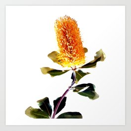 Beautiful Australian Banksia Flower Art Print