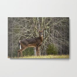 White Tailed Deer Eight Point Buck Metal Print