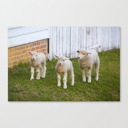 3 Little Lambs Canvas Print