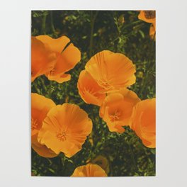 California Poppies 007 Poster