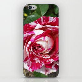 A Red and White Rose iPhone Skin