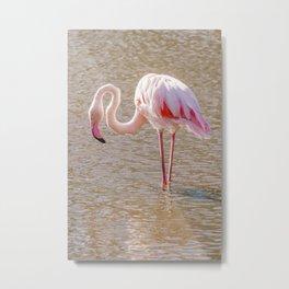 Pink Flamingo, Greater flamingo in their natural environment (Phoenicopterus roseus) Metal Print
