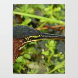 Green Heron Portrait Poster