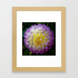 Snowball Dahlia Framed Art Print