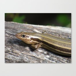relaxed skink Canvas Print