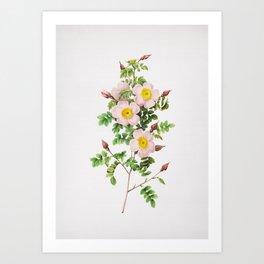 Vintage Thornless Burnet Rose Illustration Art Print