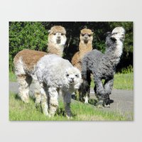 alpaca Canvas Prints featuring Alpaca by Gary Grady