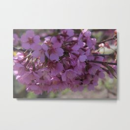 Prunus Spinosa - the signs of spring Metal Print