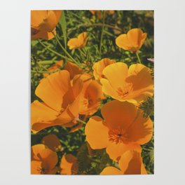 California Poppies 009 Poster