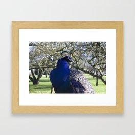Peacock in the Morning Light Framed Art Print