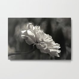 peony flower in black and white with a hint of pink Metal Print