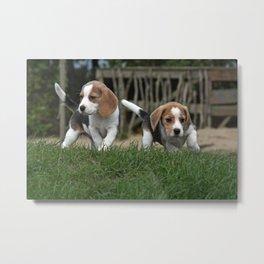 Beagle puppies Metal Print