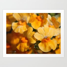 Nemesia Strumosa named Angelart Pear Art Print