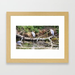 Three Herons in water at Wollaton Hall Framed Art Print
