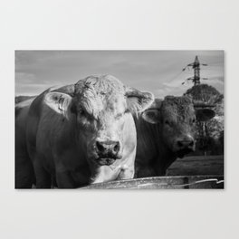 """French Cows Go """"Moo"""" Too! Canvas Print"""