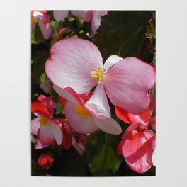 Begonia in the Rose Garden Poster