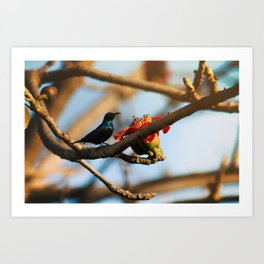 SunBird on a Bombax Ceiba, also known as red silk cotton or red cotton tree. Art Print