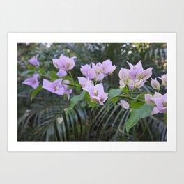 Soft Pastel Pink Bouganvilla Vine Art Print