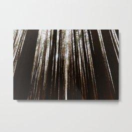Pine Woods in Australia, Bellingen – Dorrigo National Parc Metal Print