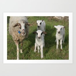 Ewe and Three Lambs Making Eye Contact Art Print