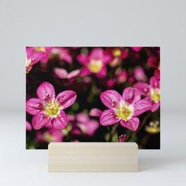 Saxifraga Mini Art Print