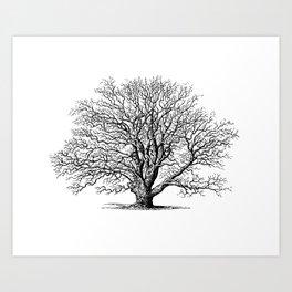 oak tree botanical no2 Art Print