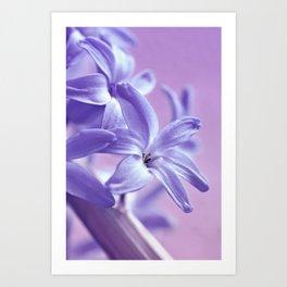 Hyacinth violet 064 Art Print