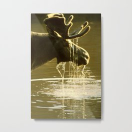 Moose Dipping His Head Into Water Metal Print
