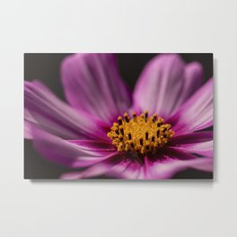 Cosmos (Cosmos Bipinnatus) is found from Paraguay to Washington a native to scrub and meadowlands Metal Print
