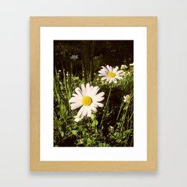 Daisies. Framed Art Print
