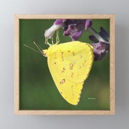 Orange Sulphur Butterfly Framed Mini Art Print