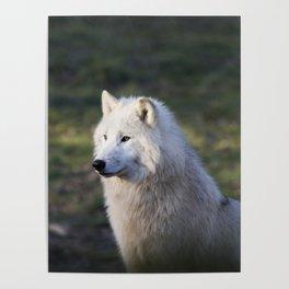Canis Lupus Arctos II Poster