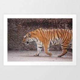 Tiger on the Prowl Art Print