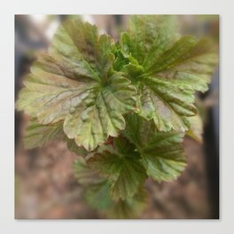 Currant Spring Leaves Canvas Print